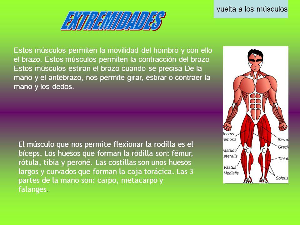 EXTREMIDADES vuelta a los músculos