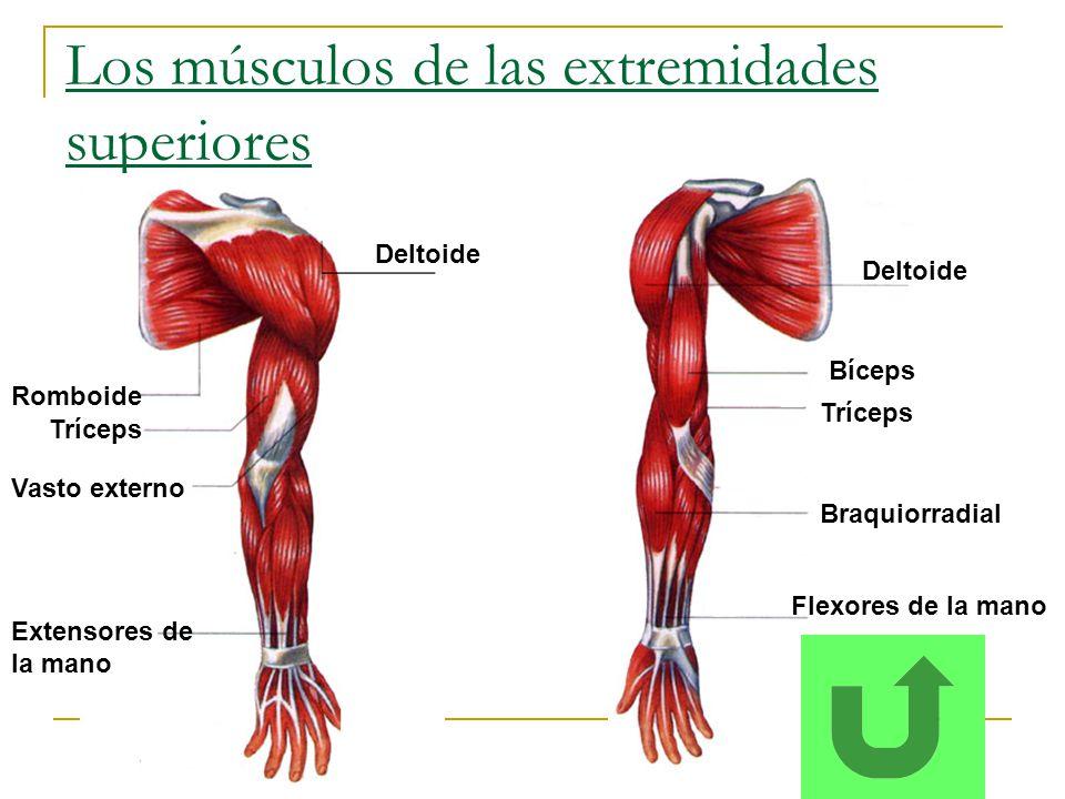 Los músculos de las extremidades superiores
