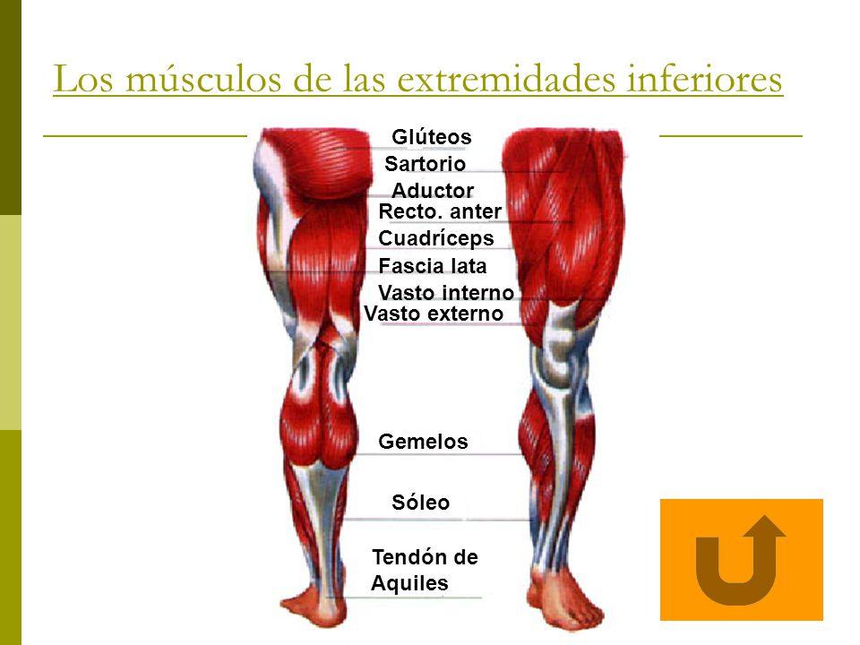 Los músculos de las extremidades inferiores