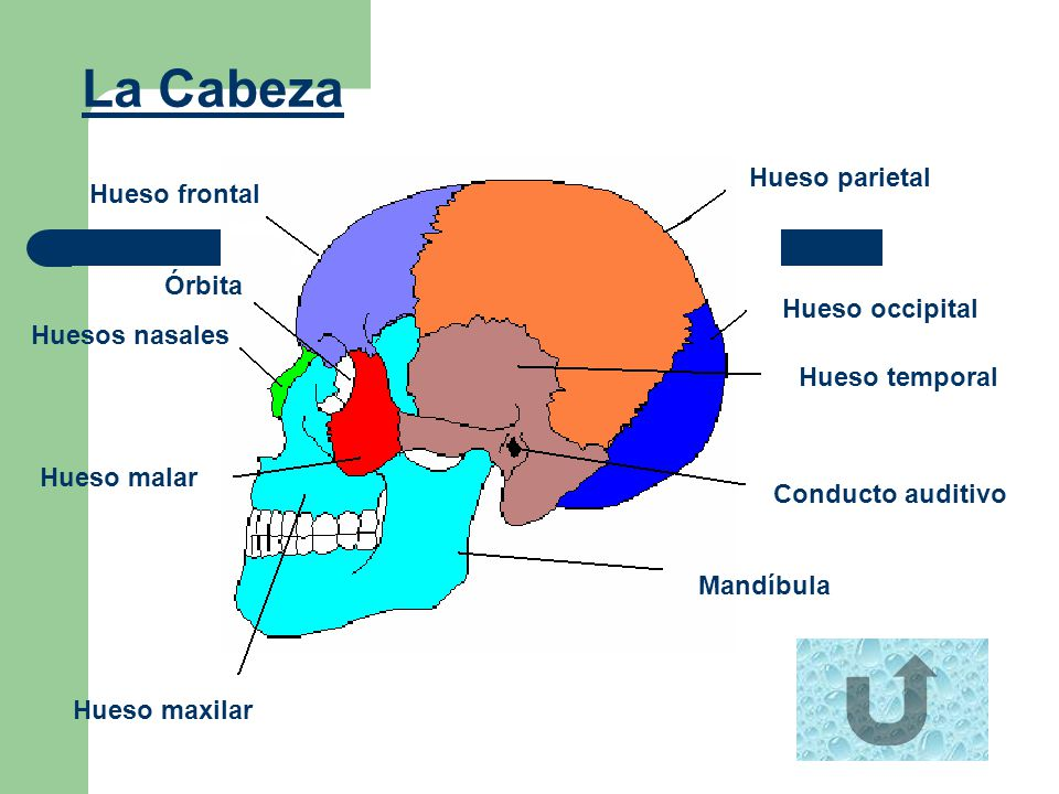 La Cabeza Hueso parietal Hueso frontal Órbita Hueso occipital