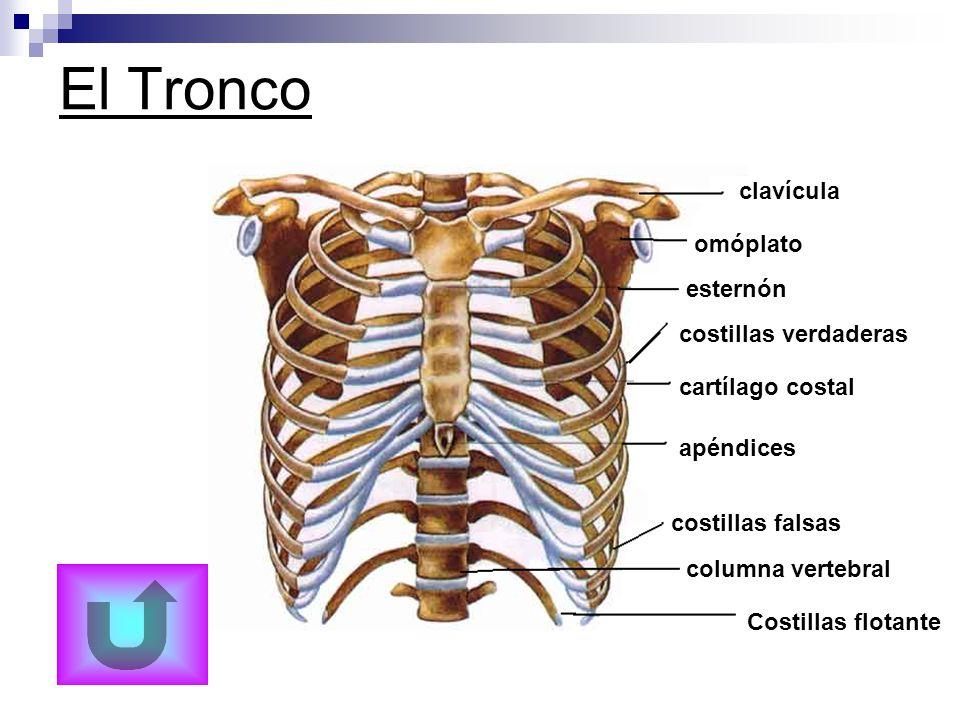 El Tronco clavícula omóplato esternón costillas verdaderas