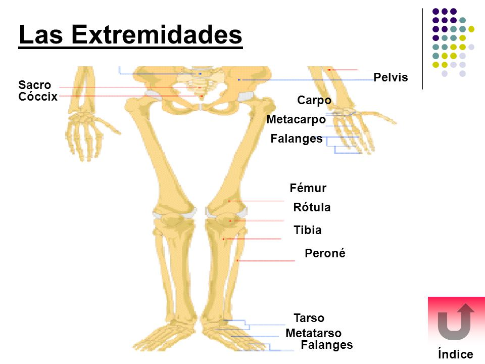 Las Extremidades Pelvis Sacro Cóccix Carpo Metacarpo Falanges Fémur