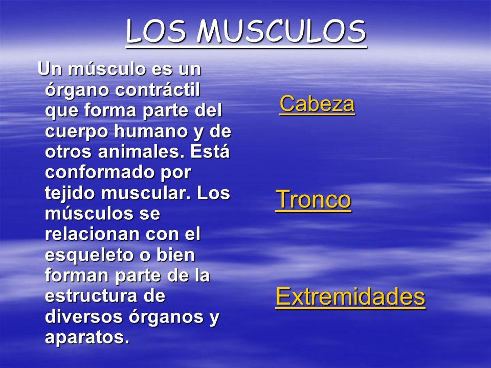 LOS MUSCULOS Tronco Extremidades Cabeza