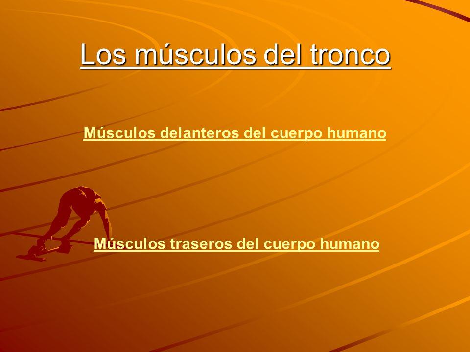 Los músculos del tronco