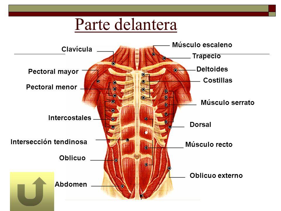 Parte delantera Músculo escaleno Clavícula Trapecio Deltoides