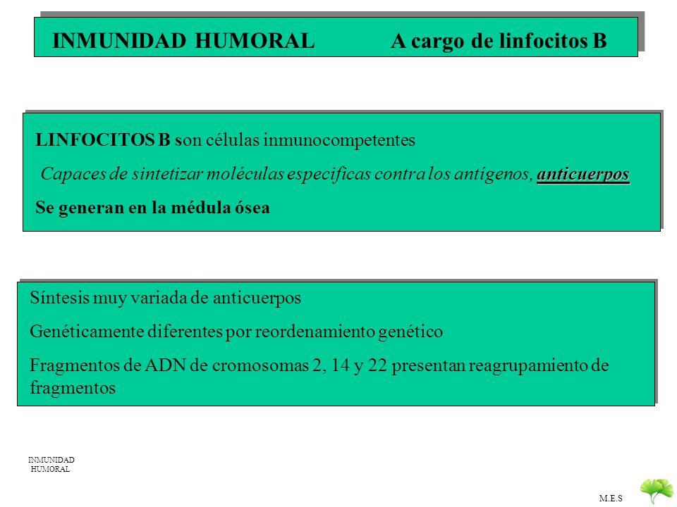 INMUNIDAD HUMORAL A cargo de linfocitos B