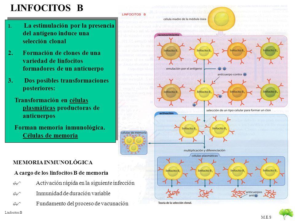 LINFOCITOS B La estimulación por la presencia del antígeno induce una selección clonal.