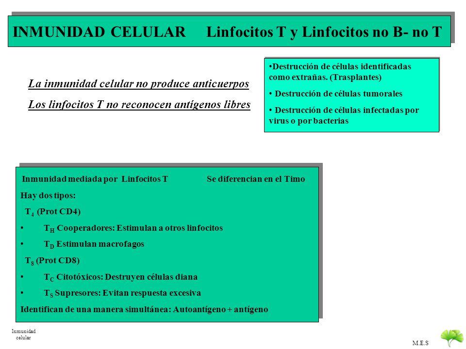 INMUNIDAD CELULAR Linfocitos T y Linfocitos no B- no T