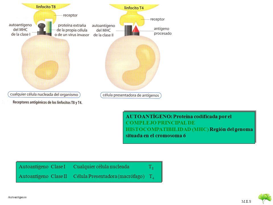 Autoantígeno Clase I Cualquier célula nucleada T8