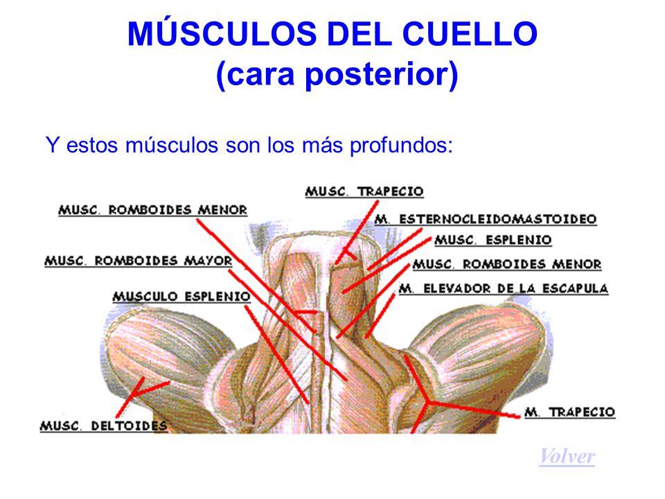 MÚSCULOS DEL CUELLO (cara posterior)