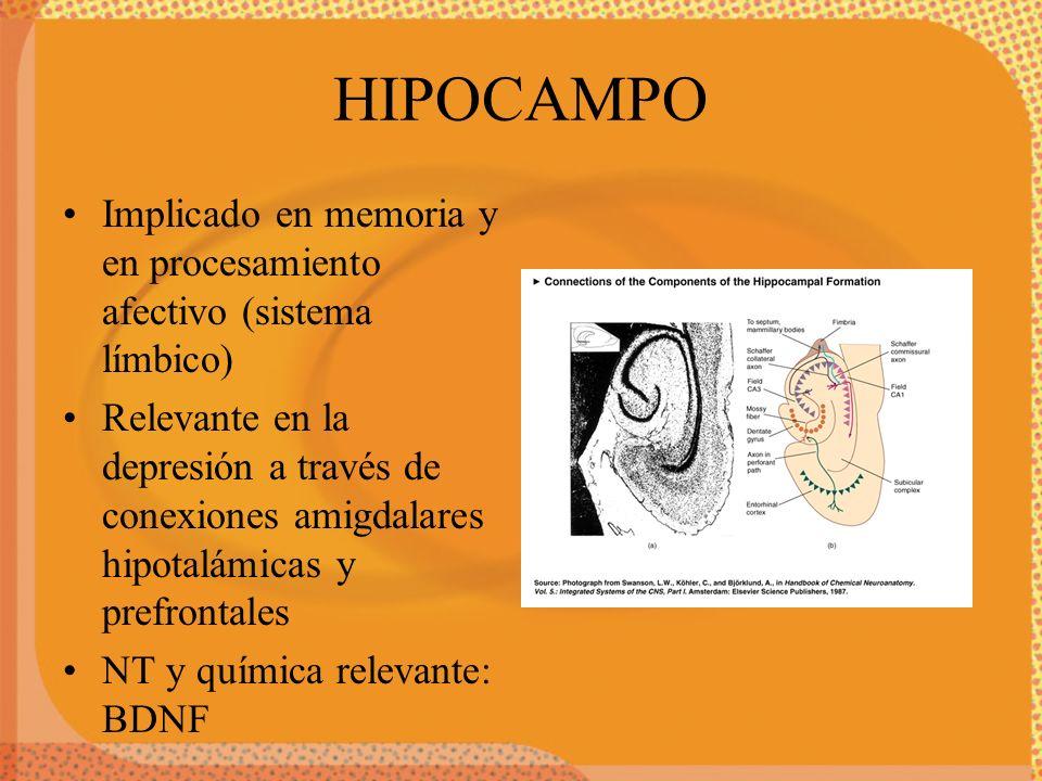HIPOCAMPO Implicado en memoria y en procesamiento afectivo (sistema límbico)
