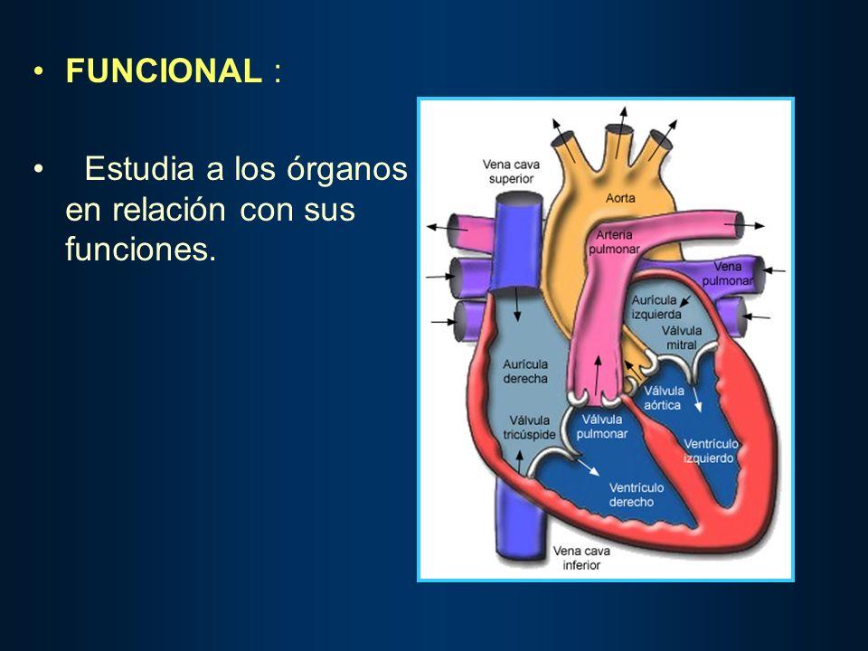 FUNCIONAL : Estudia a los órganos en relación con sus funciones.