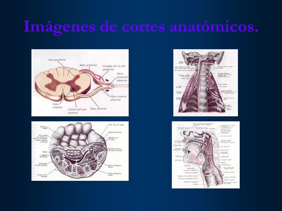 Imágenes de cortes anatómicos.