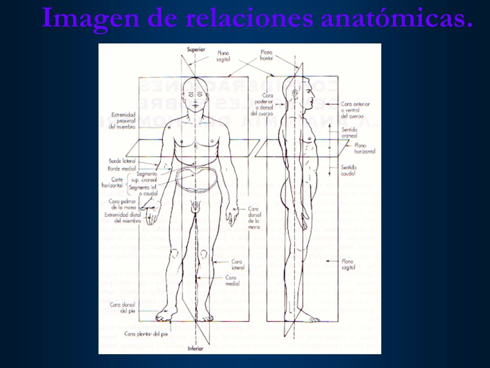 Imagen de relaciones anatómicas.