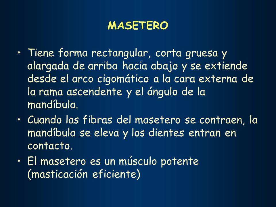MASETERO