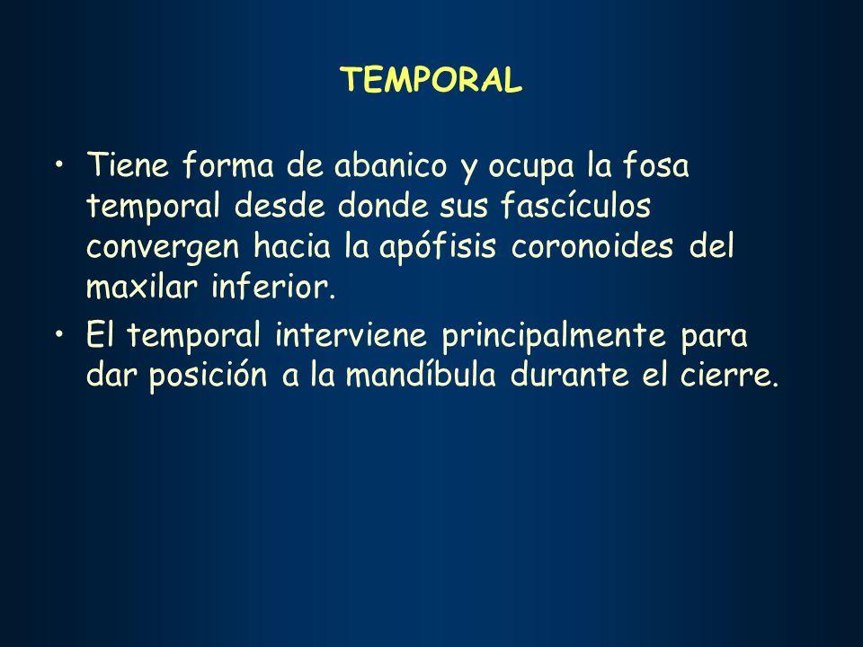 TEMPORAL Tiene forma de abanico y ocupa la fosa temporal desde donde sus fascículos convergen hacia la apófisis coronoides del maxilar inferior.