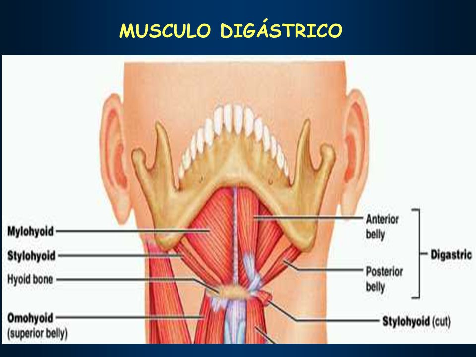 MUSCULO DIGÁSTRICO