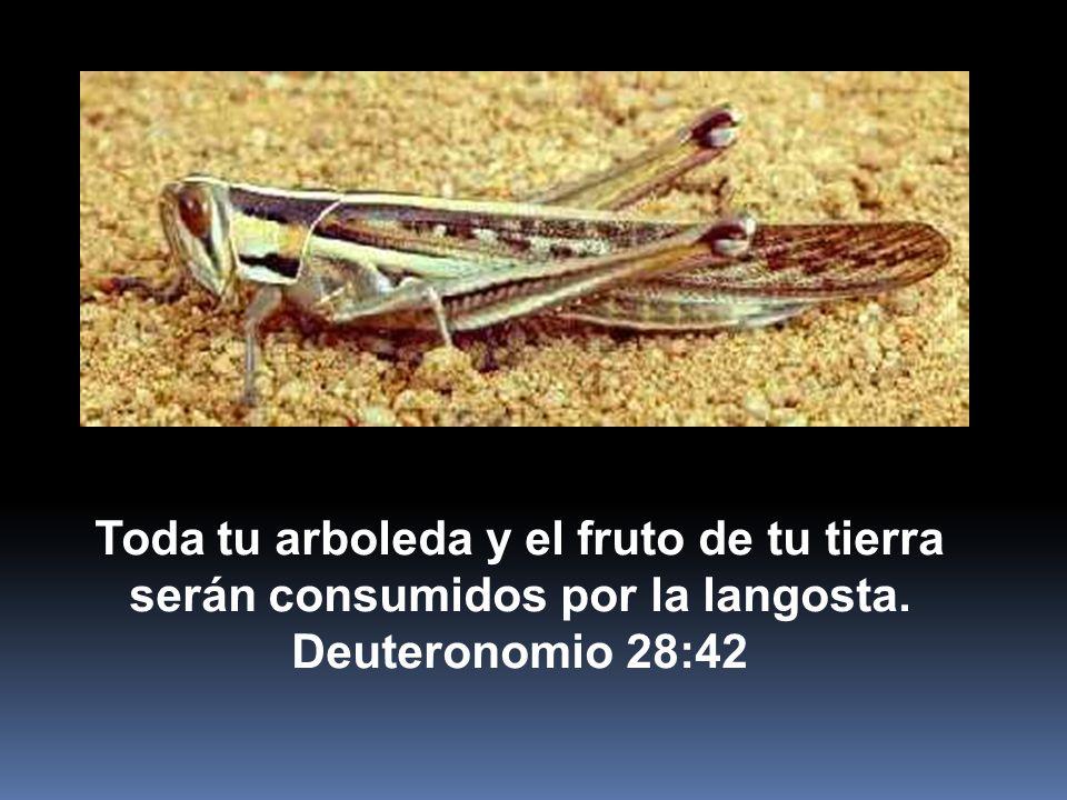 Toda tu arboleda y el fruto de tu tierra serán consumidos por la langosta.