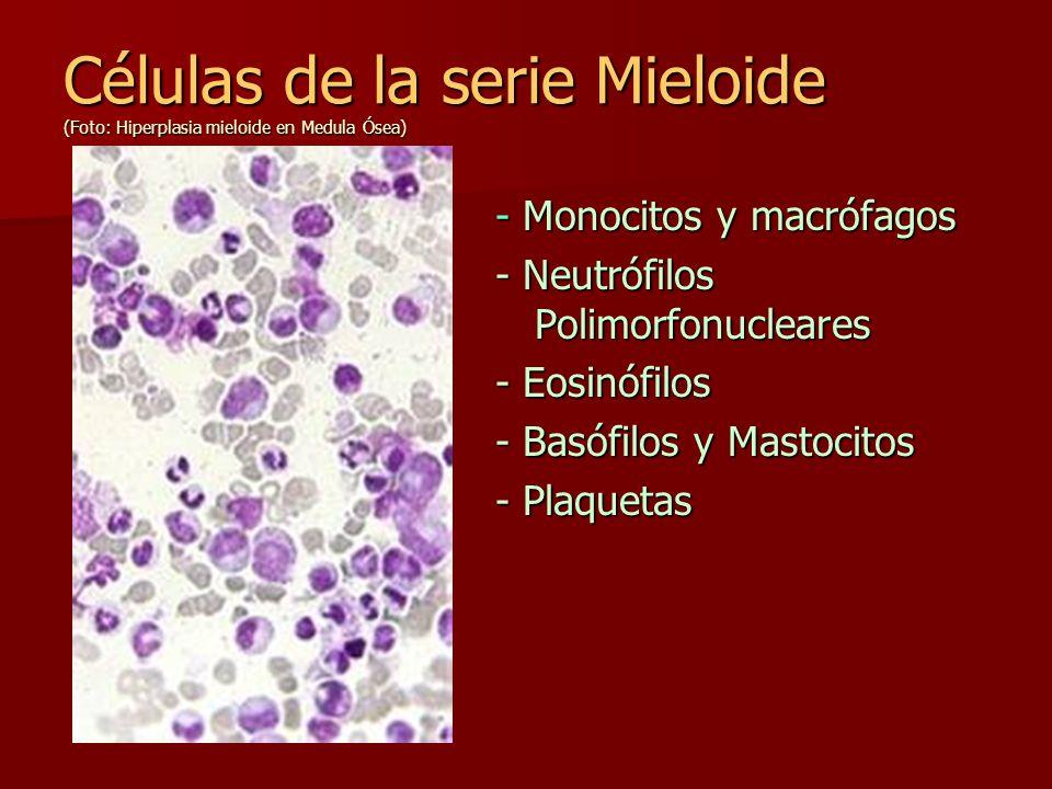 Células de la serie Mieloide (Foto: Hiperplasia mieloide en Medula Ósea)