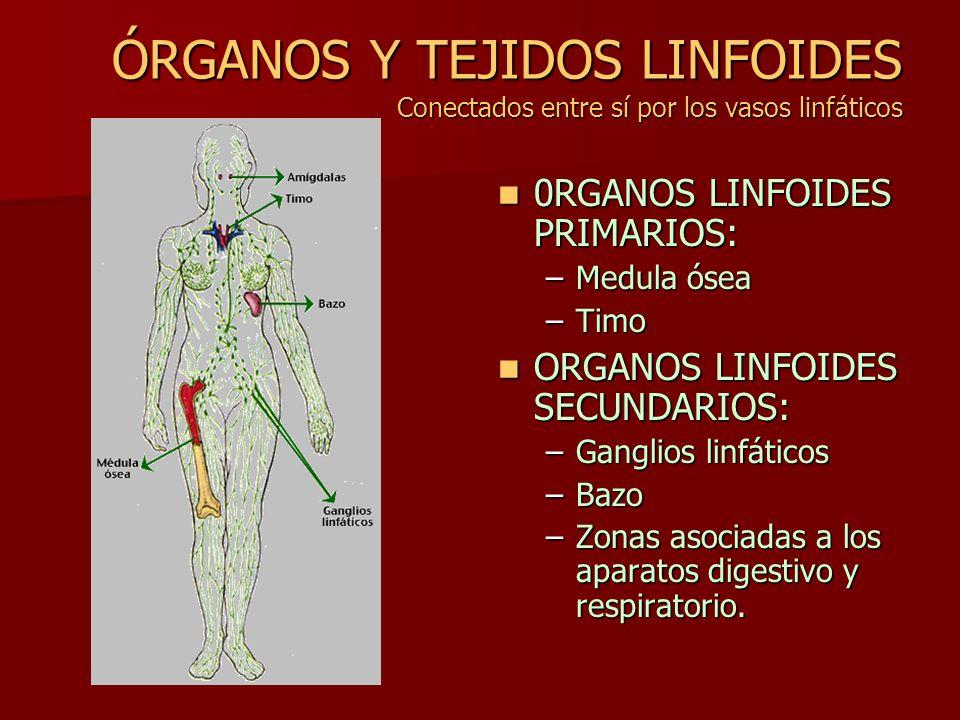 ÓRGANOS Y TEJIDOS LINFOIDES Conectados entre sí por los vasos linfáticos