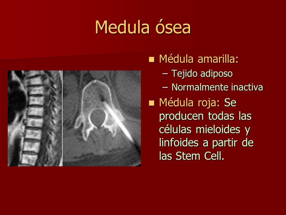 Medula ósea Médula amarilla:
