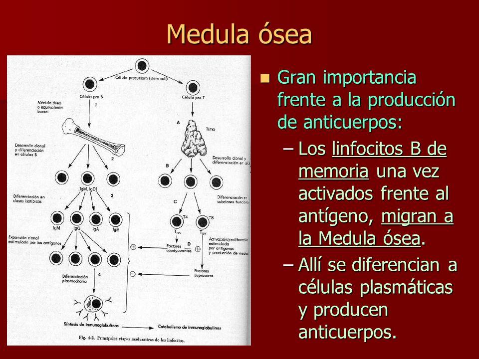 Medula ósea Gran importancia frente a la producción de anticuerpos: