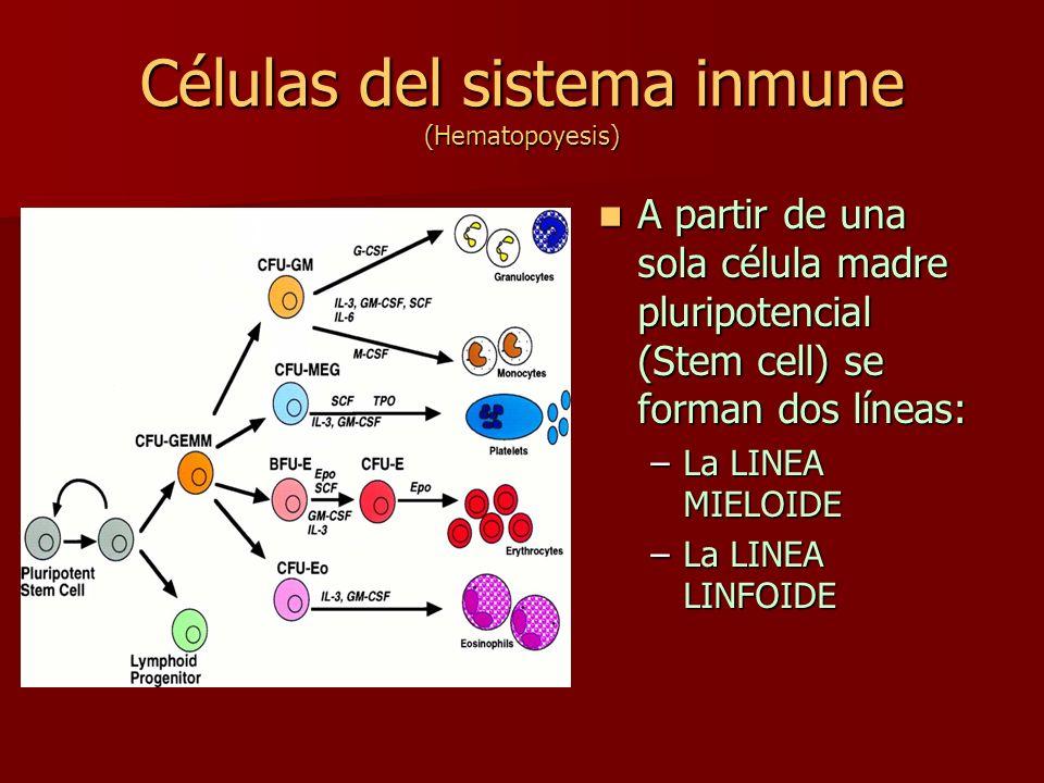 Células del sistema inmune (Hematopoyesis)