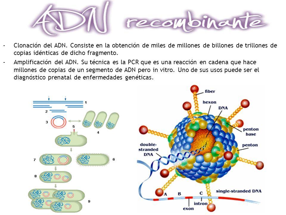 Clonación del ADN. Consiste en la obtención de miles de millones de billones de trillones de copias idénticas de dicho fragmento.