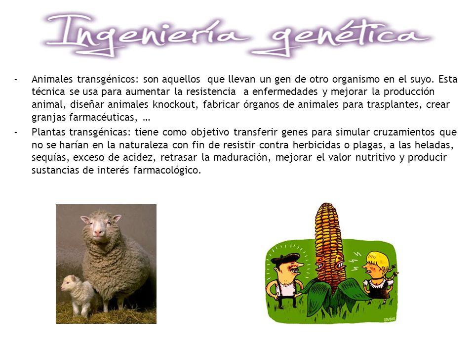Animales transgénicos: son aquellos que llevan un gen de otro organismo en el suyo. Esta técnica se usa para aumentar la resistencia a enfermedades y mejorar la producción animal, diseñar animales knockout, fabricar órganos de animales para trasplantes, crear granjas farmacéuticas, …