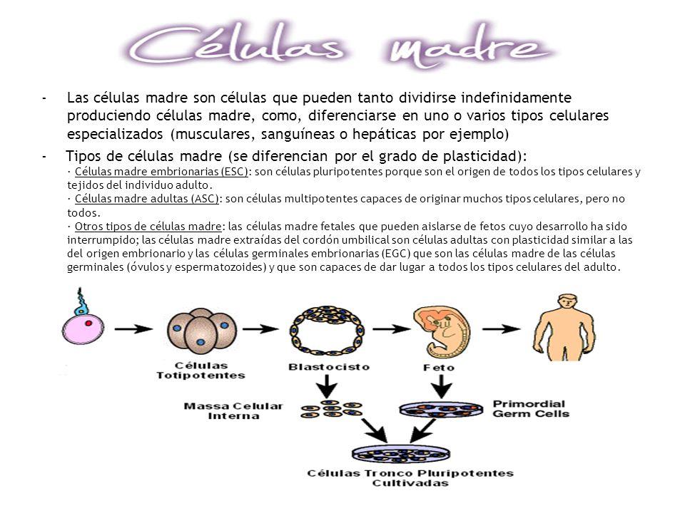 Las células madre son células que pueden tanto dividirse indefinidamente produciendo células madre, como, diferenciarse en uno o varios tipos celulares especializados (musculares, sanguíneas o hepáticas por ejemplo)