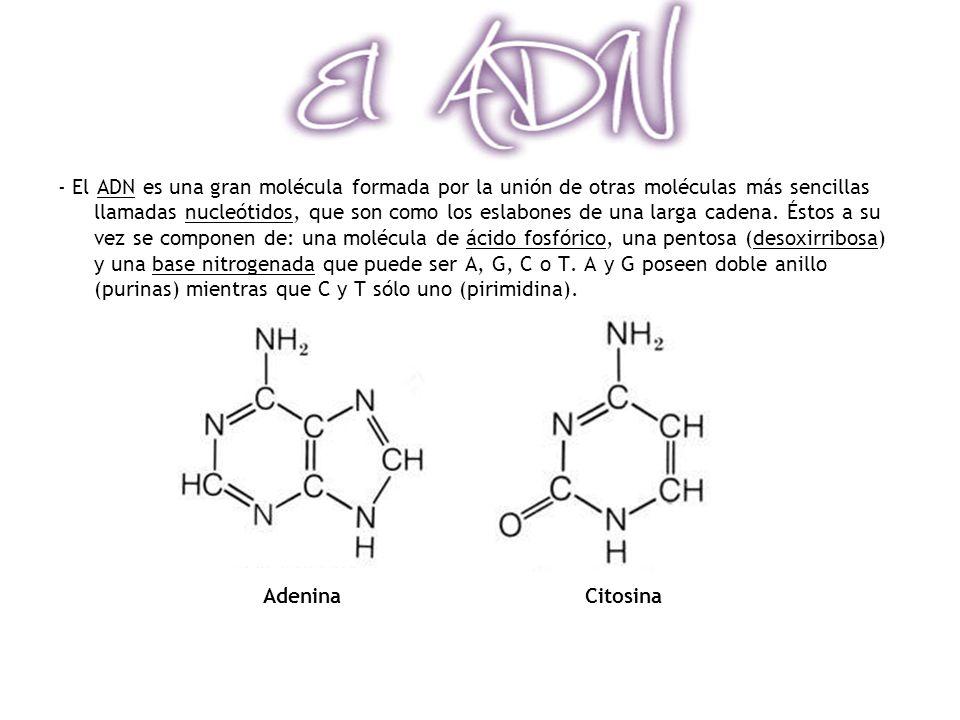 - El ADN es una gran molécula formada por la unión de otras moléculas más sencillas llamadas nucleótidos, que son como los eslabones de una larga cadena.