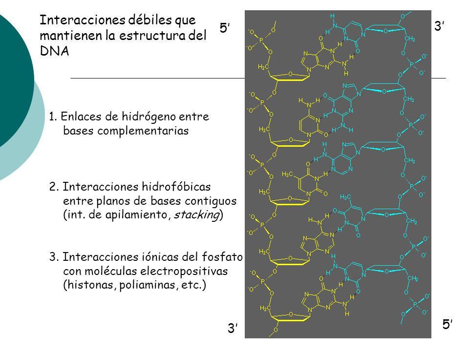 Interacciones débiles que mantienen la estructura del DNA 5' 3'