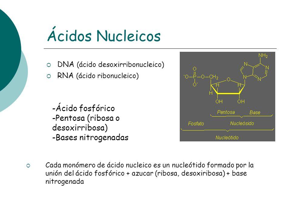 Ácidos Nucleicos -Ácido fosfórico Pentosa (ribosa o desoxirribosa)