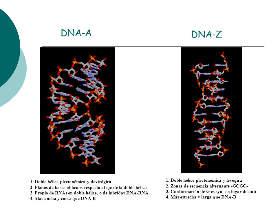 DNA-A DNA-Z 1. Doble hélice plectonémica y levógira