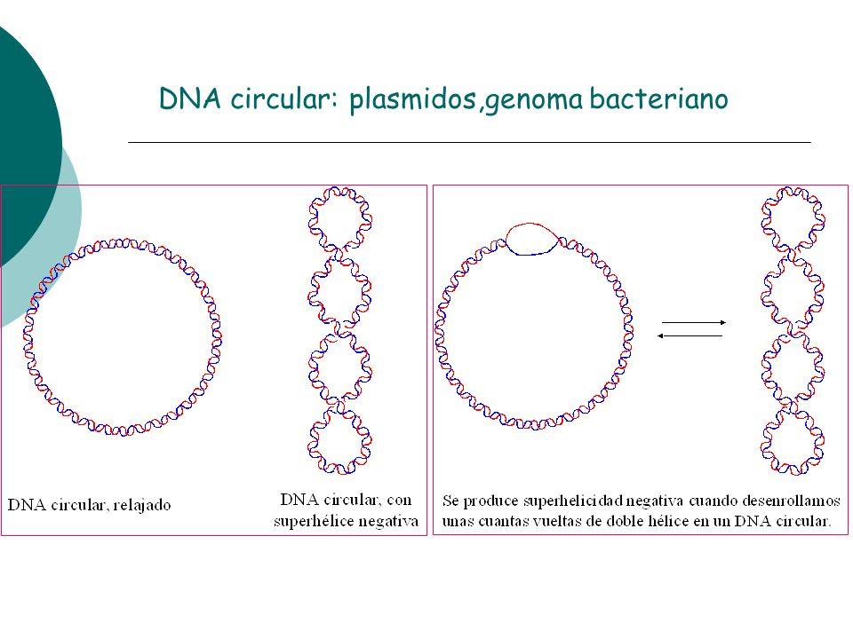 DNA circular: plasmidos,genoma bacteriano