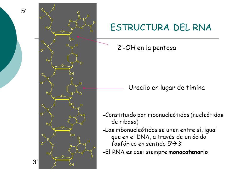 ESTRUCTURA DEL RNA 5' 2'-OH en la pentosa Uracilo en lugar de timina
