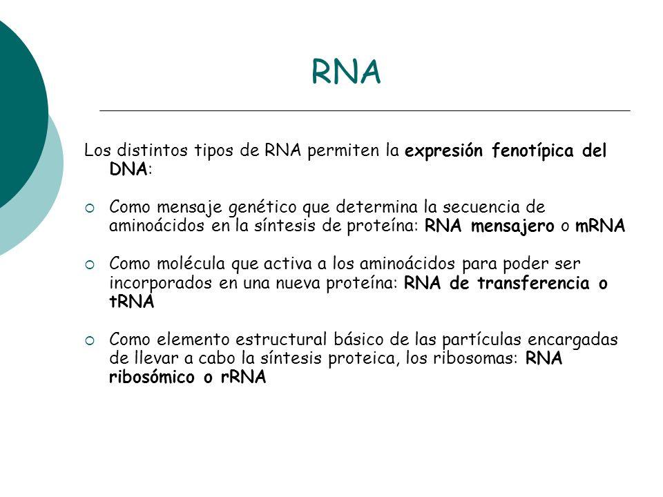 RNA Los distintos tipos de RNA permiten la expresión fenotípica del DNA: