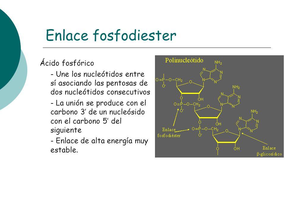 Enlace fosfodiester Ácido fosfórico