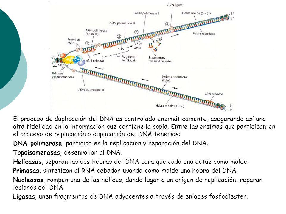 El proceso de duplicación del DNA es controlado enzimáticamente, asegurando así una alta fidelidad en la información que contiene la copia. Entre las enzimas que participan en el proceso de replicación o duplicación del DNA tenemos: