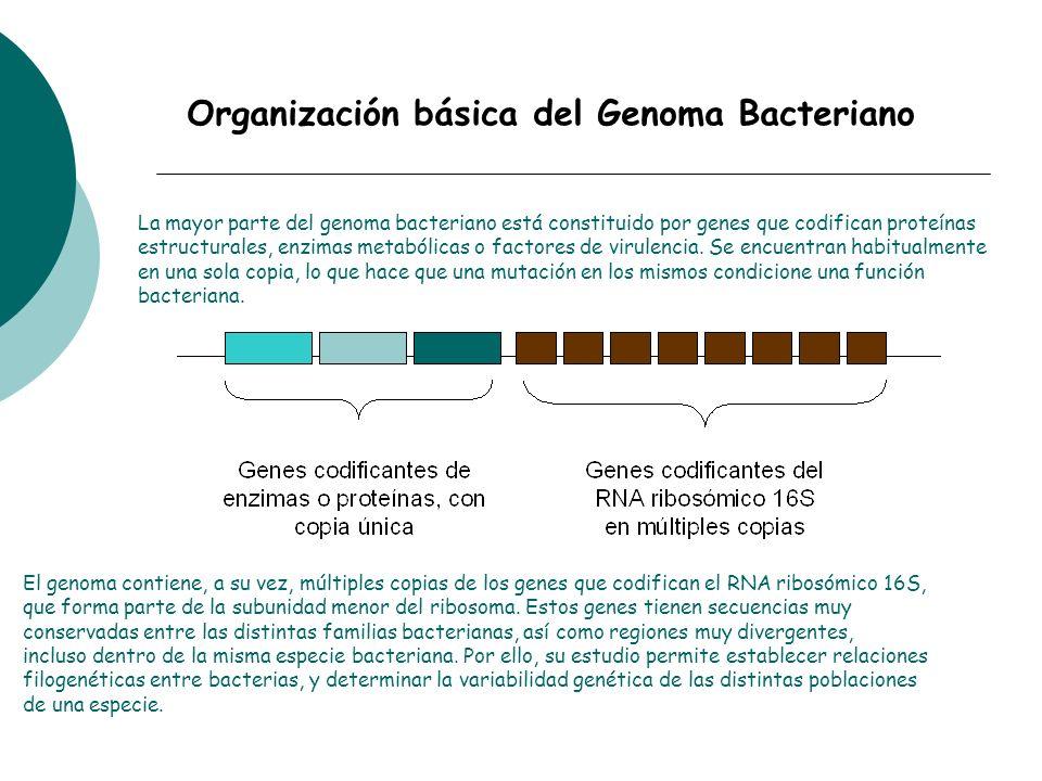 Organización básica del Genoma Bacteriano
