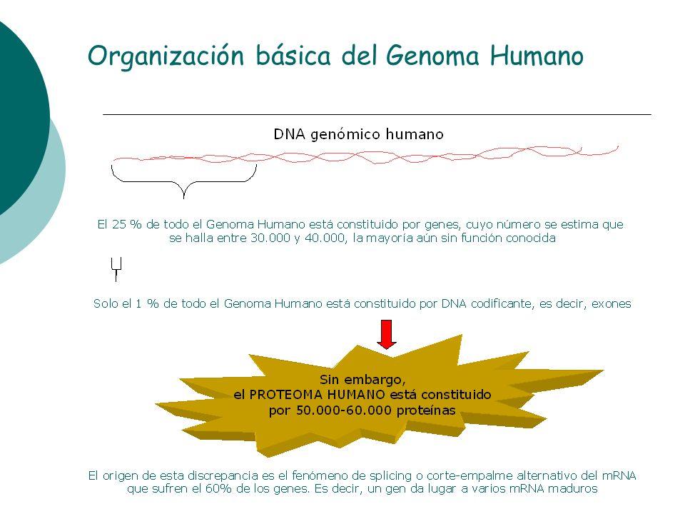 Organización básica del Genoma Humano