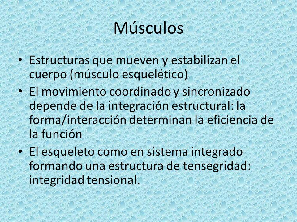 Músculos Estructuras que mueven y estabilizan el cuerpo (músculo esquelético)
