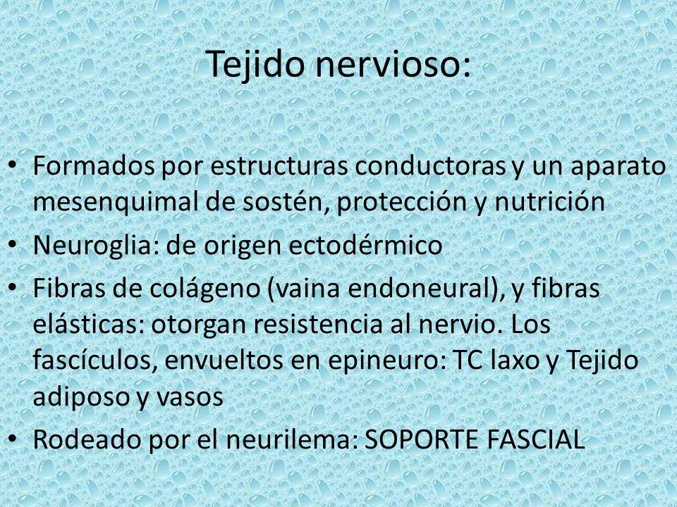Tejido nervioso: Formados por estructuras conductoras y un aparato mesenquimal de sostén, protección y nutrición.