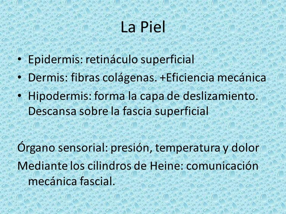 La Piel Epidermis: retináculo superficial