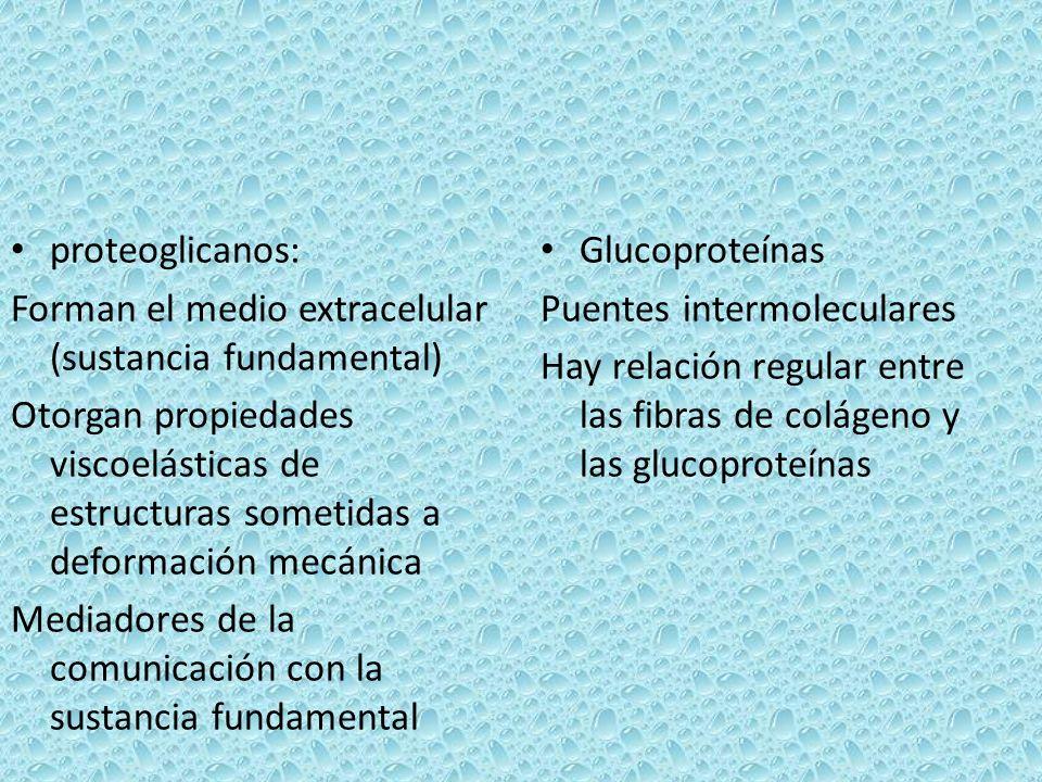 proteoglicanos: Forman el medio extracelular (sustancia fundamental)