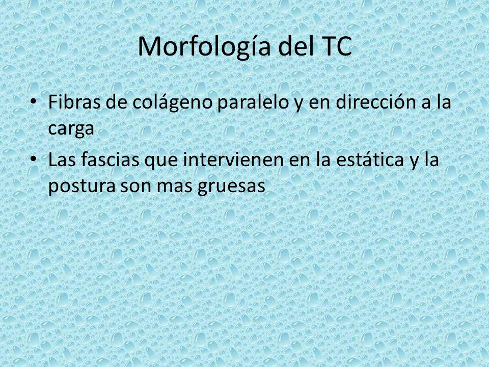 Morfología del TC Fibras de colágeno paralelo y en dirección a la carga.