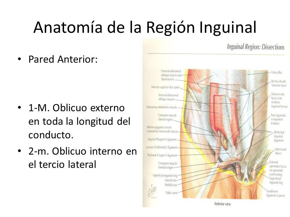 Lujo Anatomía Región Inguinal Friso - Anatomía de Las Imágenesdel ...