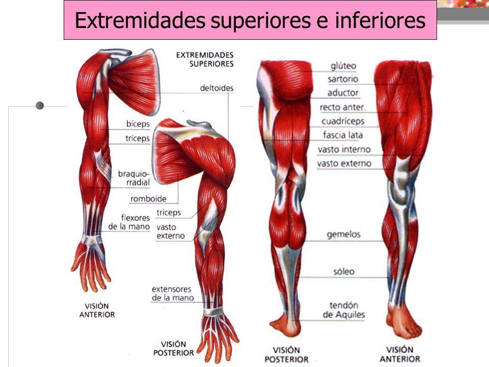 Fantástico Miembros Superiores E Inferiores Anatomía Ilustración ...