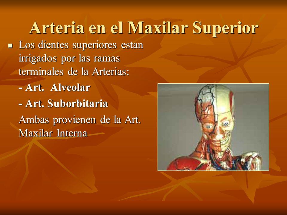 Arteria en el Maxilar Superior
