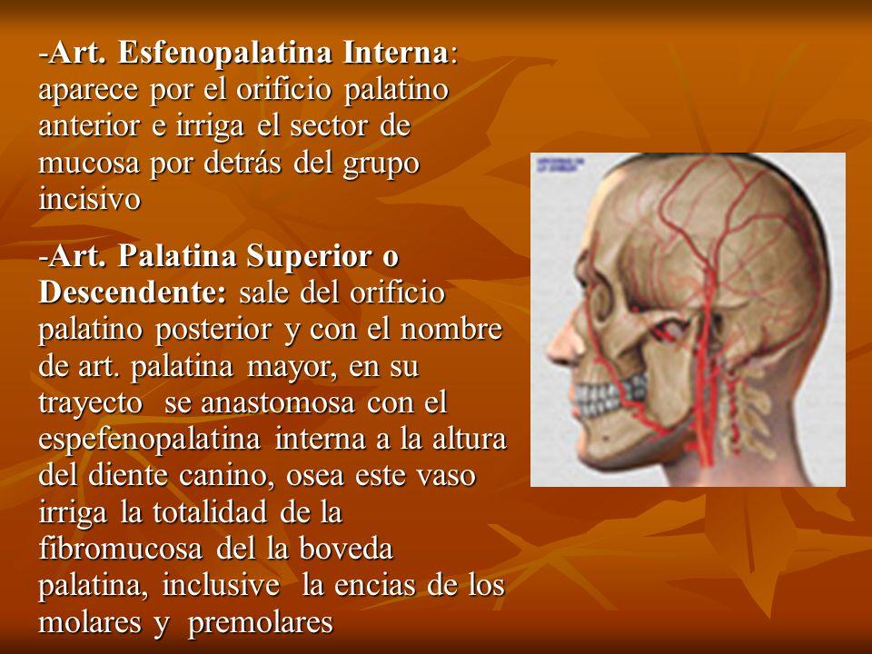 -Art. Esfenopalatina Interna: aparece por el orificio palatino anterior e irriga el sector de mucosa por detrás del grupo incisivo
